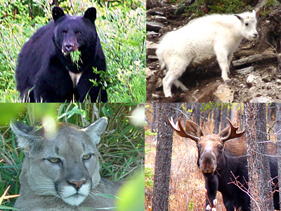 Home to bears, wolves, cougars, eagles, salmon, moose, deer and a host of the other wild creatures that make this region famous amongst nature lovers.